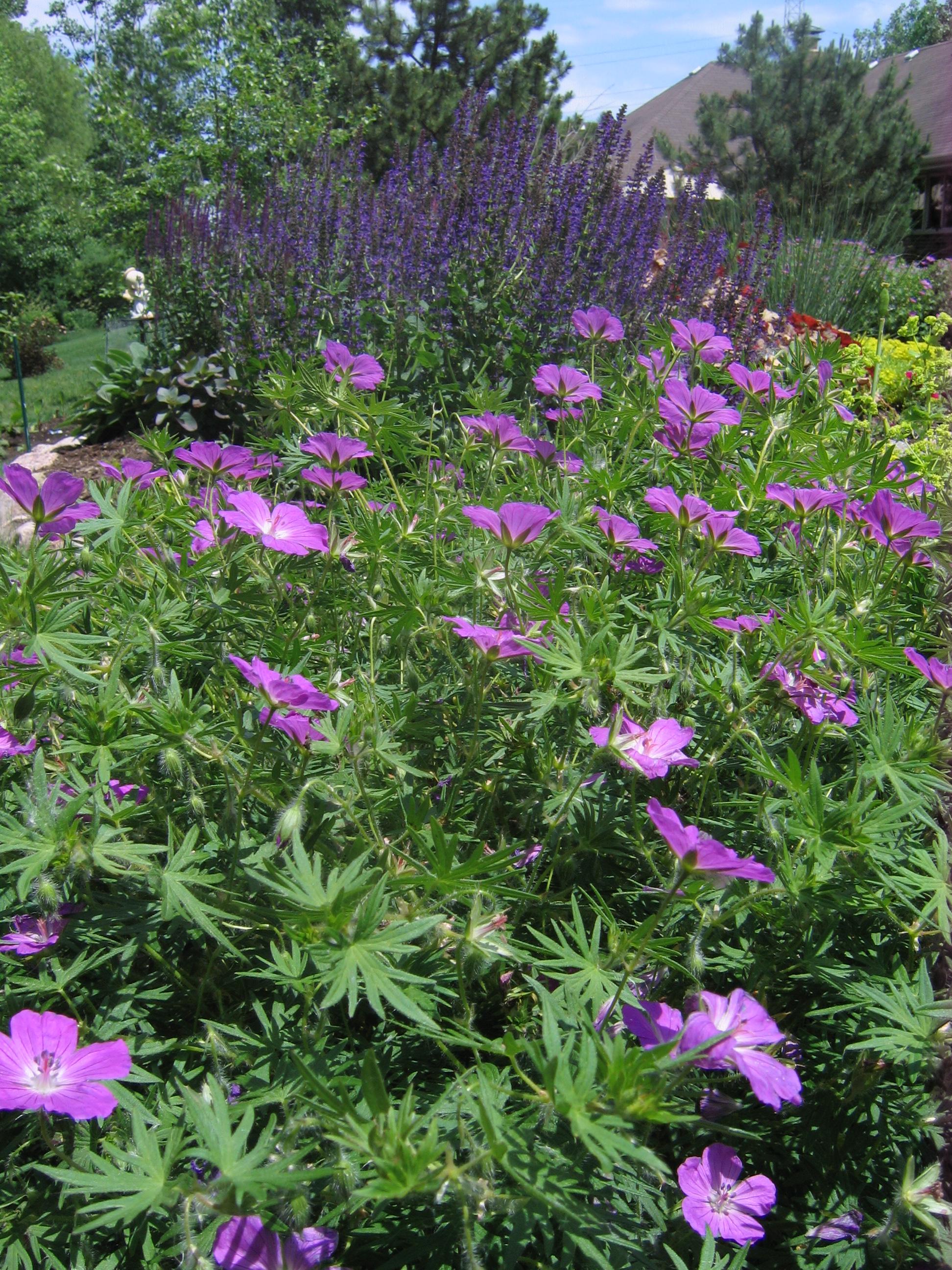 Cranesbill, Wild Geranium