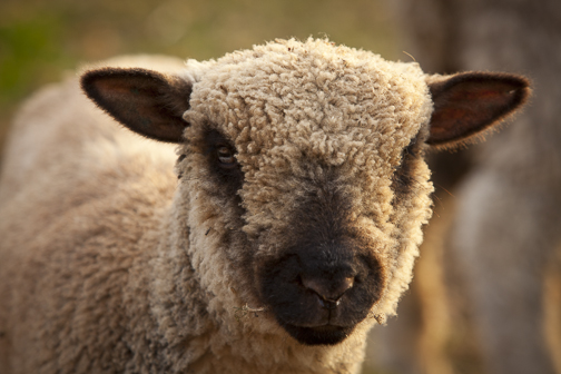 Zinnia, the Shropshire ewe