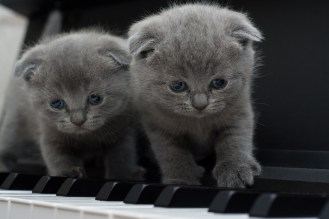 Two gray kittens standing on piano keys
