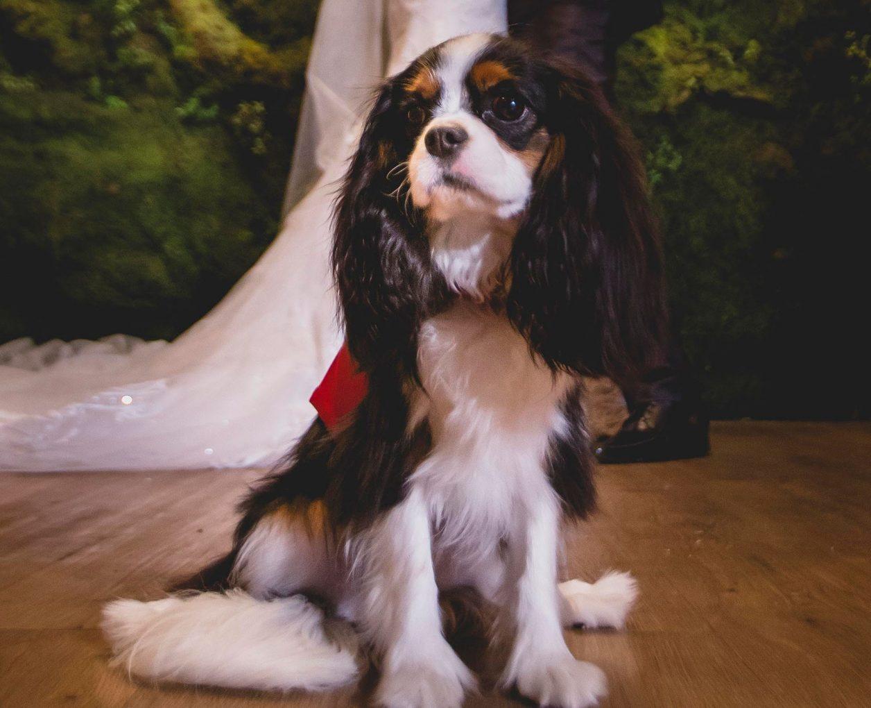 Cachorro no Casamento: Dicas e Cuidados