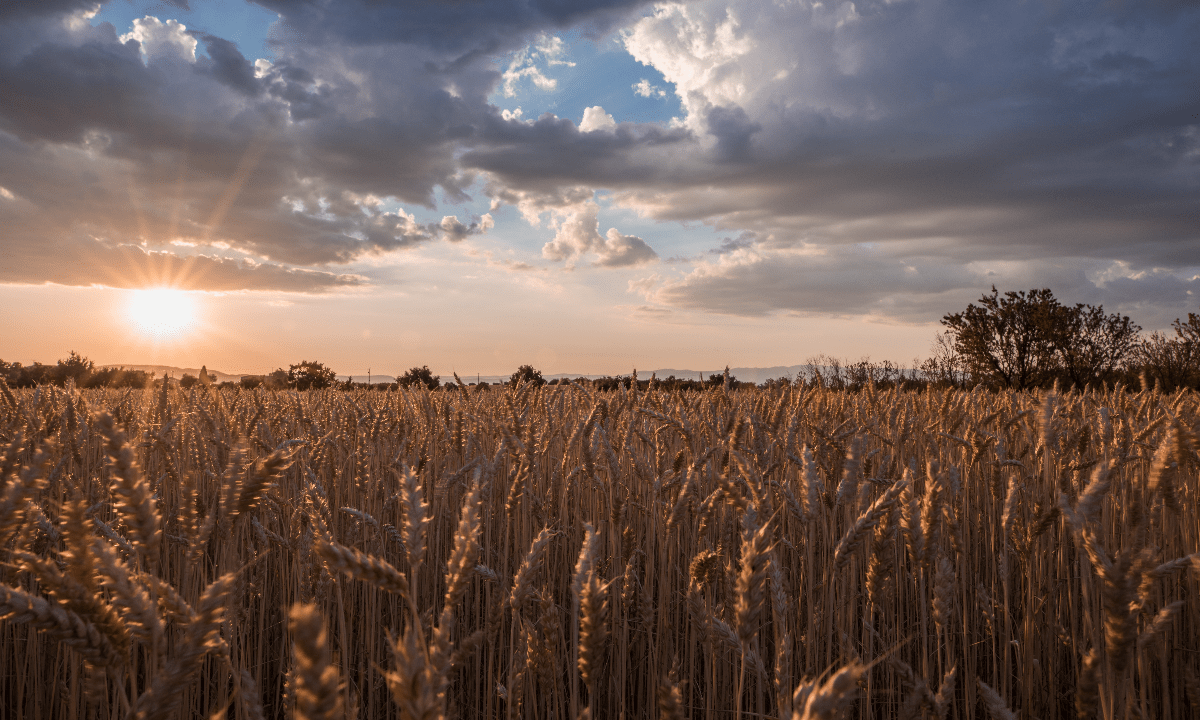 https://i0.wp.com/grupoct.com/wp-content/uploads/2020/12/horizontal-shot-wheat-spike-field-time-sunset-breathtaking-clouds.png?resize=1200%2C720&ssl=1