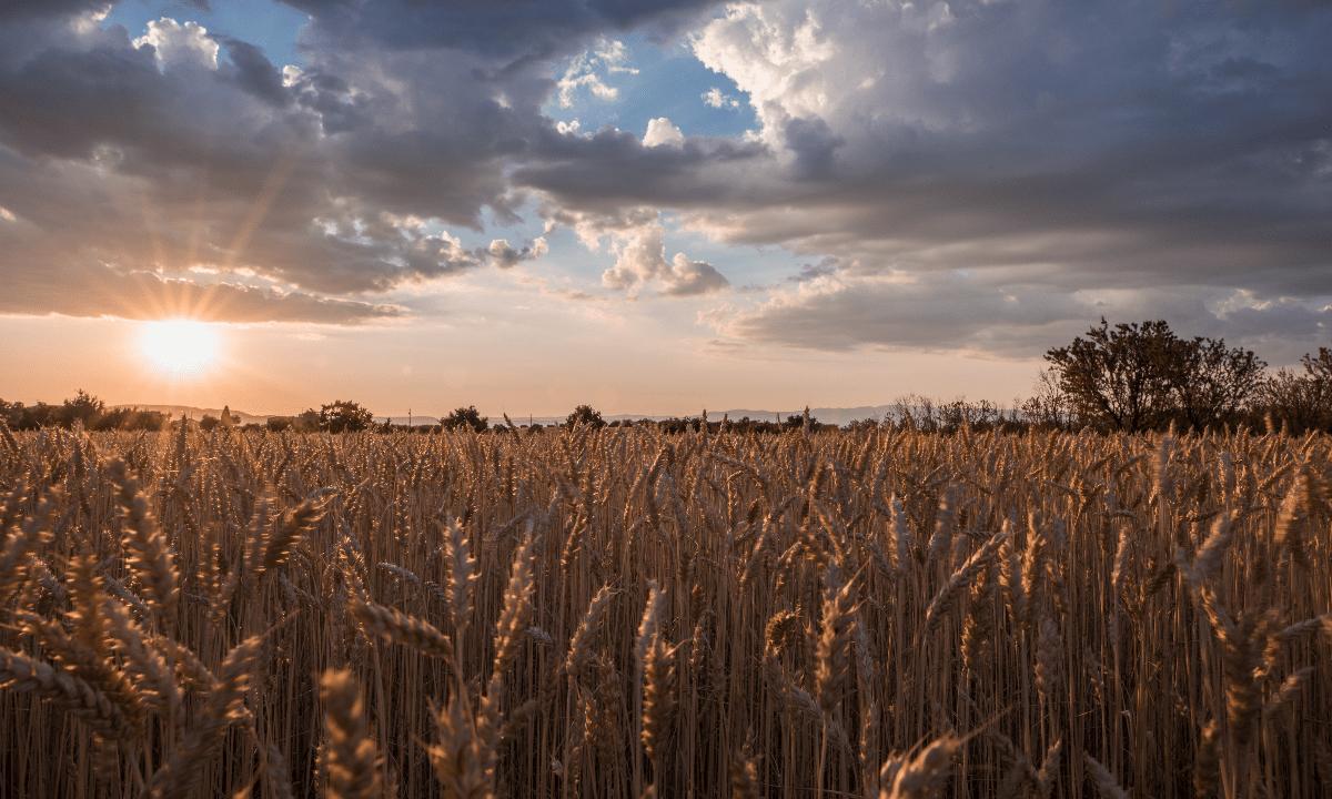 https://i0.wp.com/grupoct.com/wp-content/uploads/2020/12/horizontal-shot-wheat-spike-field-time-sunset-breathtaking-clouds.png?resize=1200%2C720&ssl=1
