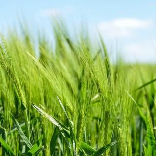 Lonjas: Continúa la escalada de precios en los cereales