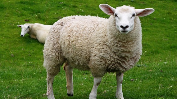 sheep-white-offal.jpg