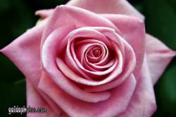 danksagungskarte-konfirmation-rose-pink-02