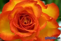 Einladungskarte Kommunion Rose Organge