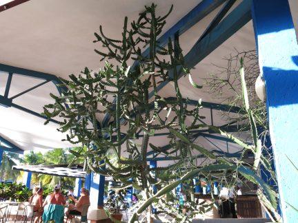 19. Kul kaktus