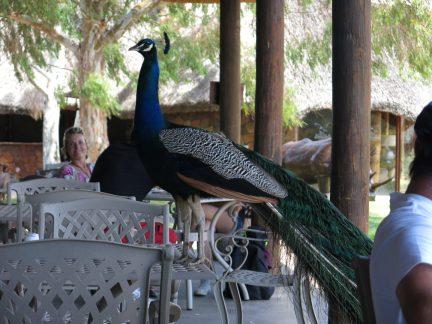 126. Påfuglen på bordet i restauranten