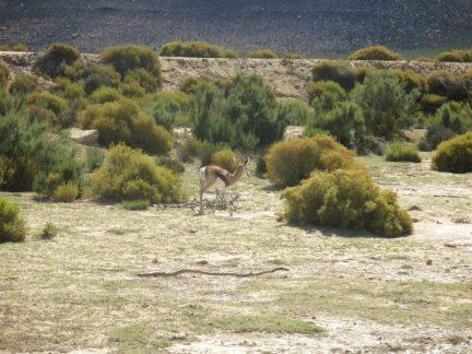 31. Springbok
