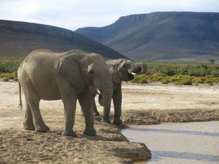 59. Elefantene drikker vann