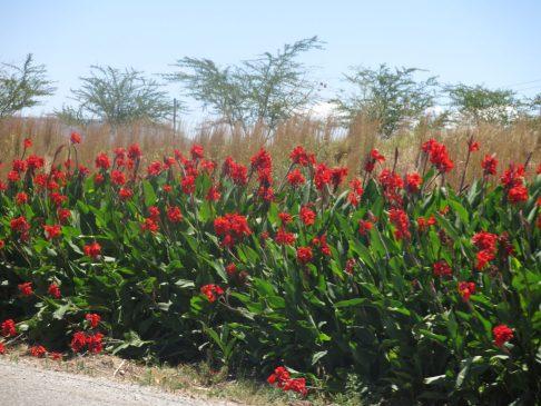 68. Røde blomster langs veien