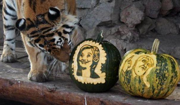 Тигрица Юнона из красноярского зоопарка предсказала победу Клинтон