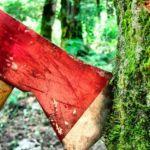 Активисты ГРИНПИС заблокировали незаконную вырубку Беловежской пущи в Польше