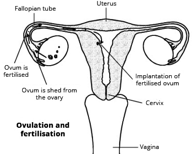Draw a labeled diagram of the human female reproductive