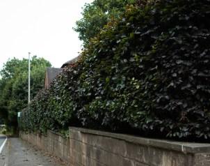 Beech Hedge Trim, Brailsford, Derby 02