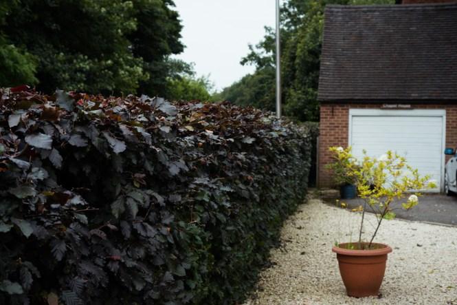 Beech Hedge Trim, Brailsford, Derby 01