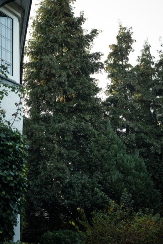 Conifer Removal, Melbourne 01