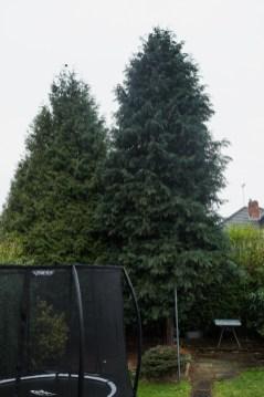 Leylandii Dismantle Littleover © Gardenscape, Derby 01