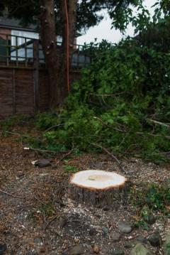 Leylandii Dismantle Littleover © Gardenscape, Derby 02
