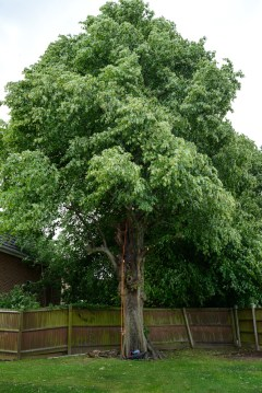 TPO Lime Tree Littleover @ Gardenscape Derby 02