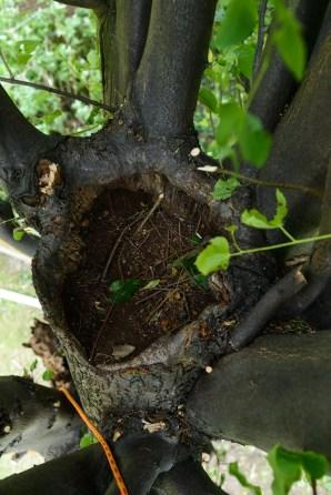 TPO Lime Tree Littleover @ Gardenscape Derby 07