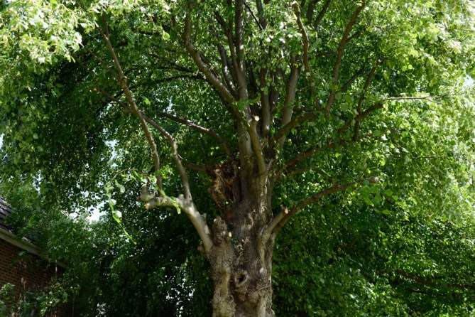 TPO Lime Tree Littleover @ Gardenscape Derby 08