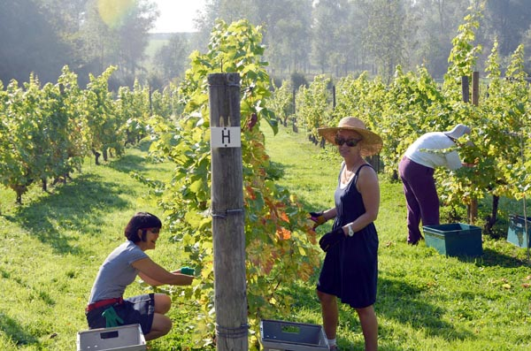 West Street Vineyard vines/harvest