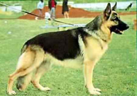 History of the West GSD  Vom Zeder Haus German Shepherd