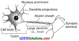 GSEB Solutions Class 10 Science Chapter 7 Control and Coordination