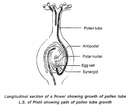 GSEB Solutions Class 12 Biology Chapter 2 Sexual Reproduction in Flowering Plants 12