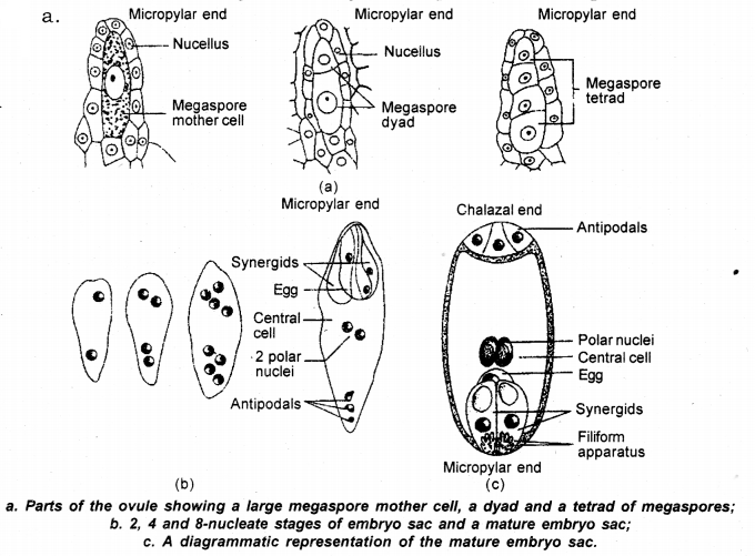 GSEB Solutions Class 12 Biology Chapter 2 Sexual Reproduction in Flowering Plants 13