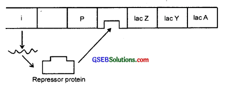 GSEB Solutions Class 12 Biology Chapter 6 Molecular Basis of Inheritance 3