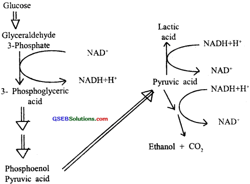 GSEB Solutions Class 11 Biology Chapter 14 Respiration in Plants img 6