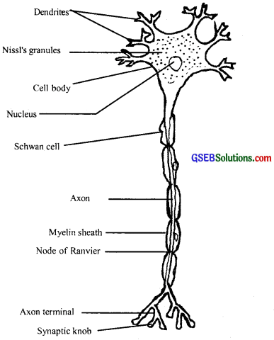 GSEB Solutions Class 11 Biology Chapter 21 Neural Control and Coordination img 1