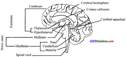 GSEB Solutions Class 11 Biology Chapter 21 Neural Control and Coordination img 2