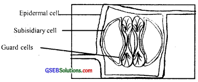 GSEB Solutions Class 11 Biology Chapter 6 Anatomy of Flowering Plants img 10