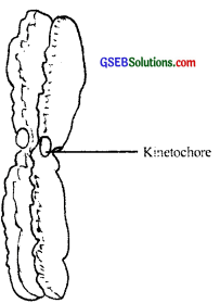 GSEB Solutions Class 11 Biology Chapter 8 Cell The Unit of Life img 7