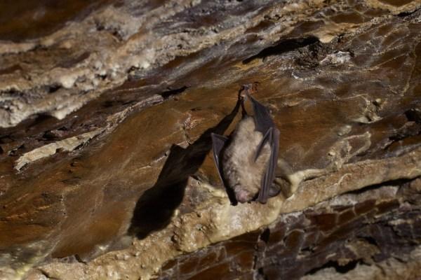 Chirottero (pipistrello) nella Grotta del Vuolo