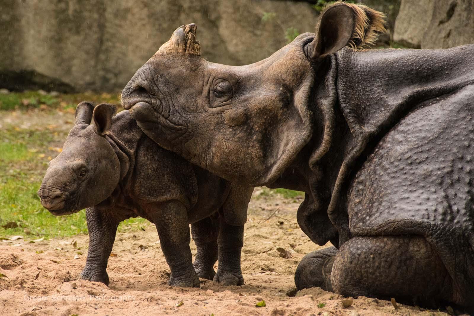 Nashorn Baby Puri - Tierpark Hellabrunn