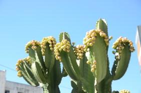 cacto Huaraz