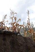 Corn in a garden - Huari