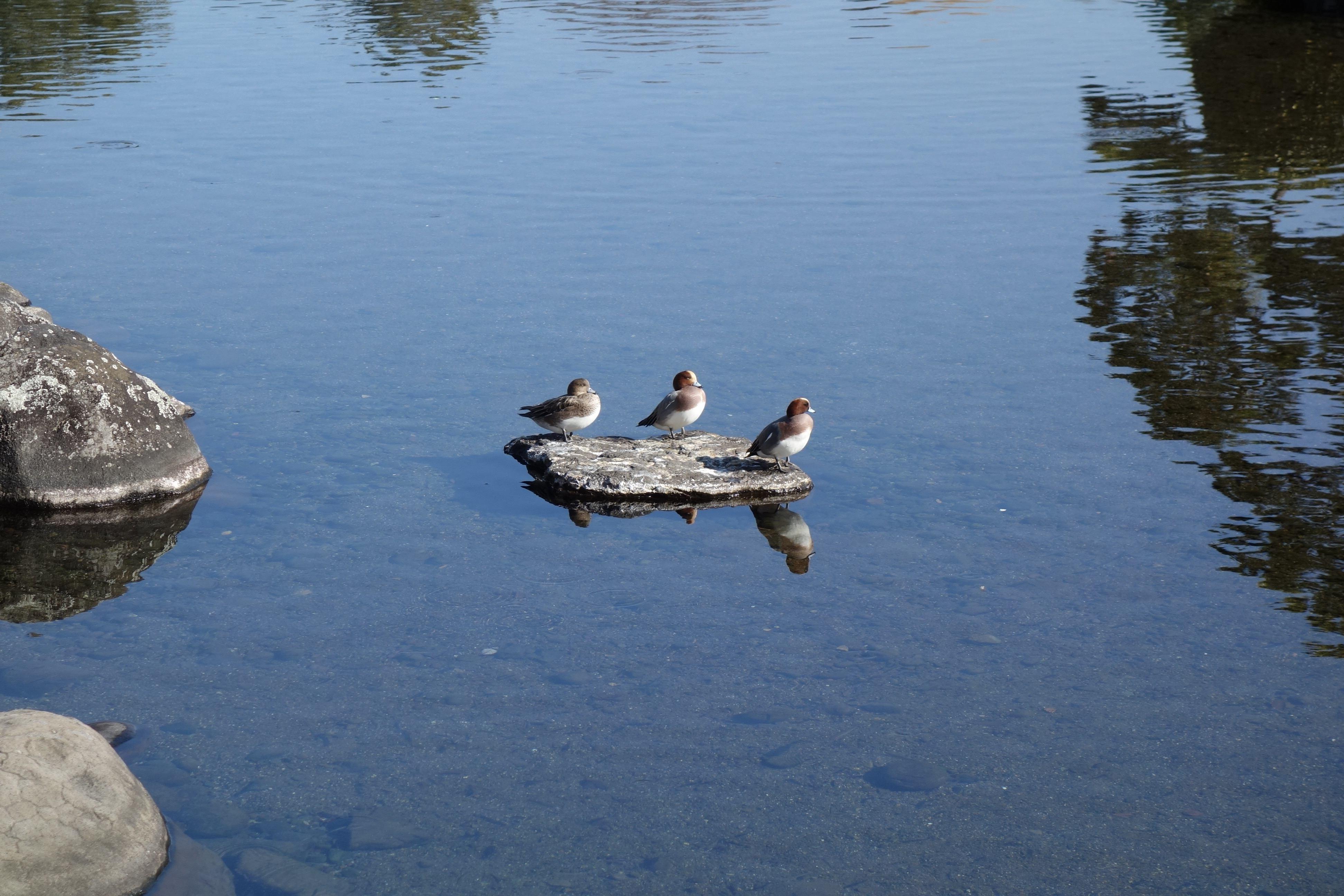 水前寺成趣園 合鴨