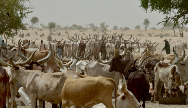 Image result for File photo of cows in nigeria