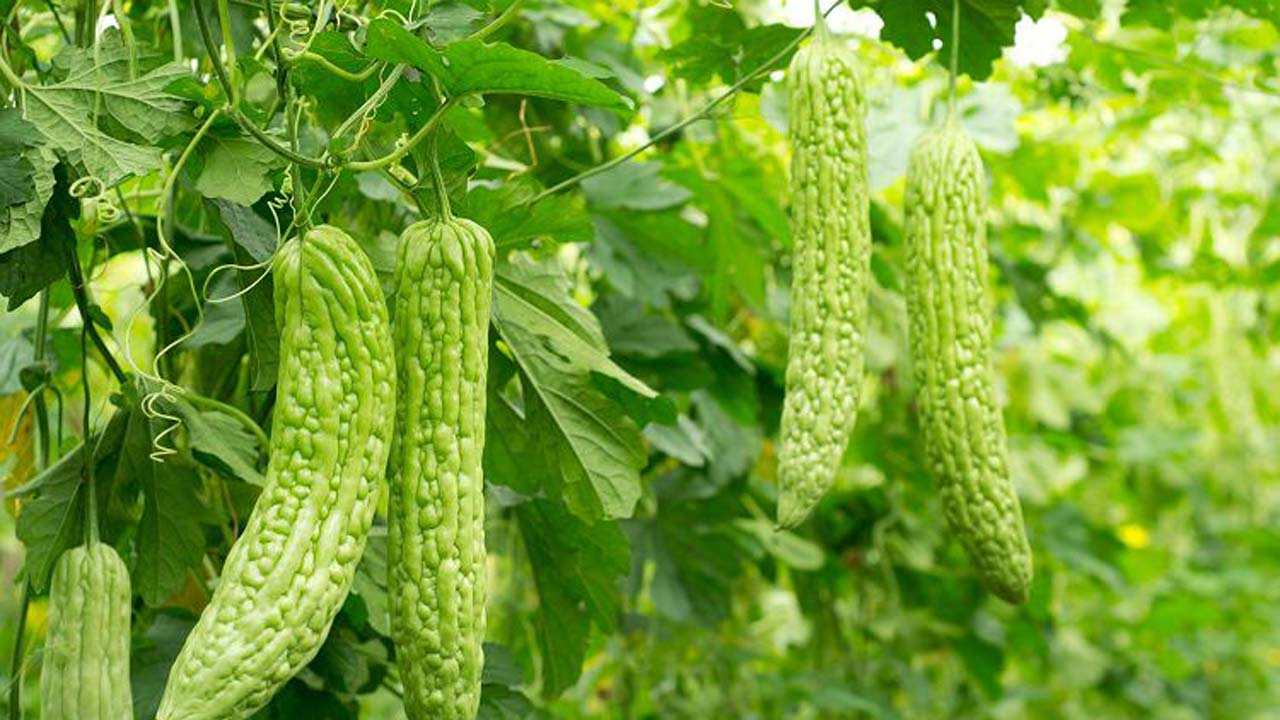 Bitter Melon Tops Herbal Remedies For Diabetes Features