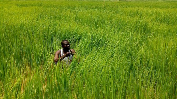 Tough time awaits Nigerians, as price of rice soars     – 2