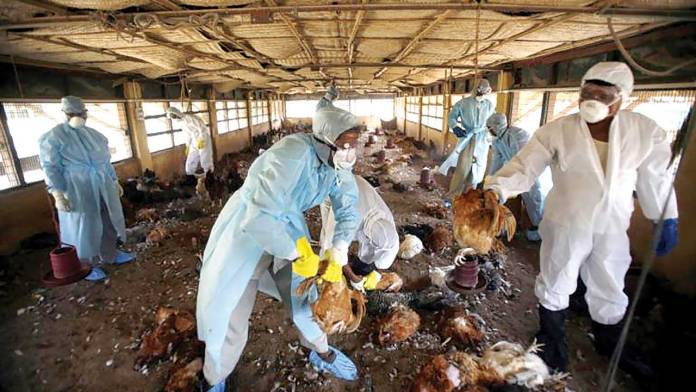 Taking steps to prevent bird flu outbreak on poultry farms   1