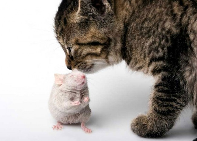 Cats, Mice and Toxoplasma Gondii Parasite Weird Love Triangle
