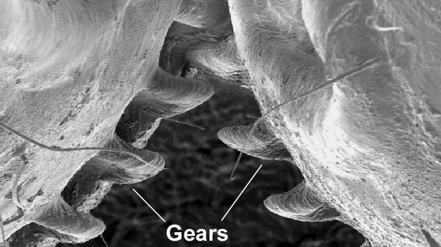 Planthopper Gears: Life Imitating Inventions or vice Versa?
