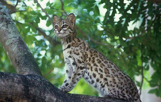 South America Researchers Discover a New Wildcat Species
