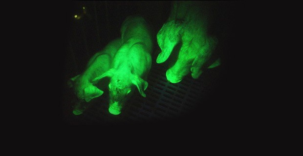 Glow-In-the-Dark Pigs Prove DNA Transplants are Possible